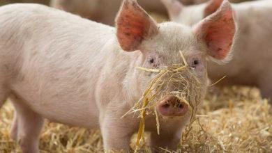 Photo of На Чернігівщину повернулася свиняча чума?