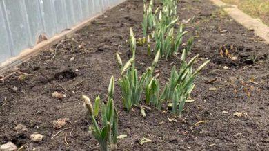 Photo of Підсніжники в січні: Ніжинщина вражає. Фото