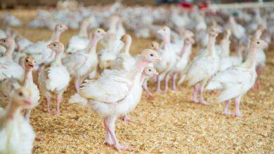 Photo of Україна увійшла в трійку провідних експортерів м'яса птиці до ЄС