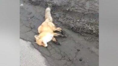Photo of У центрі Мигалівки знайшли мертву лисицю