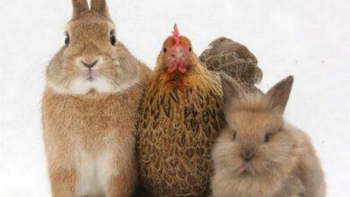 Photo of Дві крадіжки – один злочинець: у Ніжині судять крадія свійської птиці і кролів