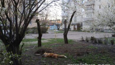 Photo of Майже в центрі Ніжина біля багатоповерхівок лежить мертва лисиця. Фото