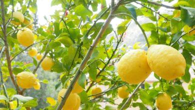 Photo of Чи можуть зникнути лимони з українських маркетів
