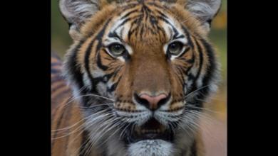 Photo of Тигриця у зоопарку Нью-Йорка заразилася коронавірусом від людини
