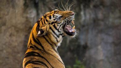 Photo of Коронавірус виявили у тигриці в зоопарку Нью-Йорка