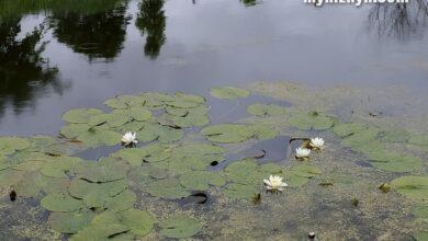 Photo of У Ніжині на Острі розцвіли лілії. Фото