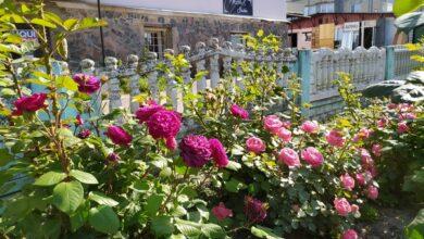 Photo of У розарії по Московській оселилося літо. Фото