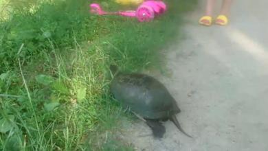 Photo of Болотяні черепахи облюбували водойми Ніжина