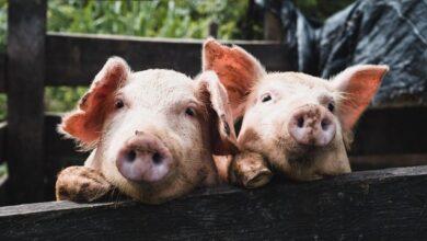 Photo of Загрожує нова пандемія: в Китаї з'явився новий вид свинячого грипу