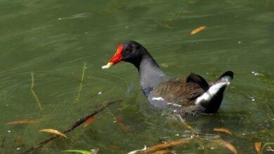 Photo of На ніжинських водоймах живуть птахи, що перебувають під охороною