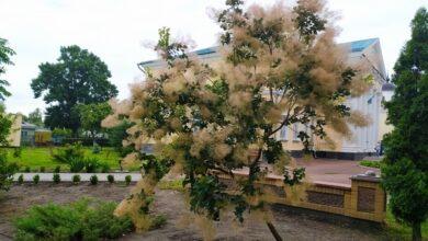 Photo of Що за диво-кущ росте у сквері Лисянського? Фото