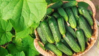 Photo of Секрет консервування ніжинських огірків. Відео