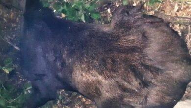 Photo of Унікальну червонокнижну тварину застрелили на Чернігівщині