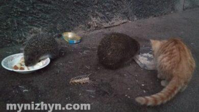 Photo of Історія двох ніжинських їжаків, які хитро вирішили питання з харчуванням. Фото і відео