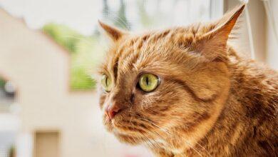 Photo of Коронавірус спробують лікувати препаратом для кішок