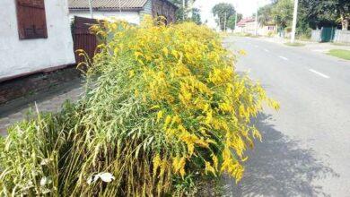 Photo of Ніжином стрімко поширюється небезпечна рослина! Фото
