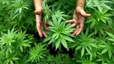 Photo of Ніжинець незаконно вирощував вдома рослини коноплі