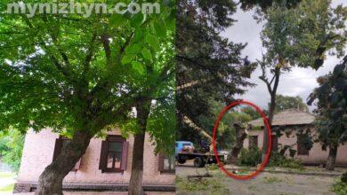 Photo of Аварійне дерево, що роками лякало ніжинців, вже спилюють. Фото