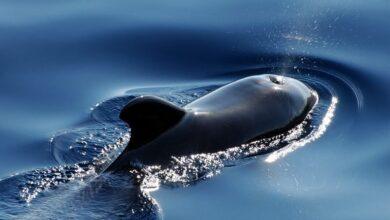 Photo of В Австралії 380 чорних дельфінів загинули на березі