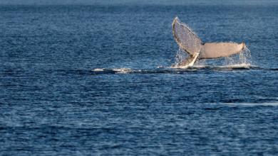 Photo of В Австралії кити масово викинулися на сушу – 90 особин загинули