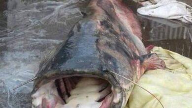 Photo of У Десні спіймали сома-велетня. Фото