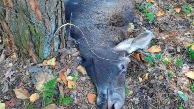 Photo of На Чернігівщині у браконьєрський зашморг потрапила Червонокнижна тварина