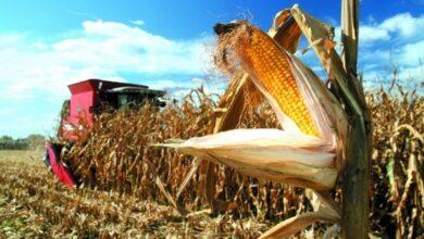 Photo of На околиці Ніжина на кукурудзяному полі знайшли труп