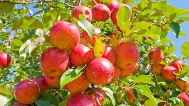 Photo of Як обрати дешеві та смачні яблука та що з них приготувати