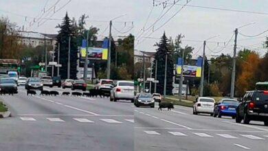 Photo of У Харкові кабани з дитинчатами зупинили рух автомобілів