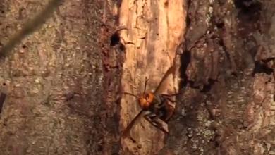 """Photo of У США вчені знищили перше гніздо """"шершнів-убивць"""""""